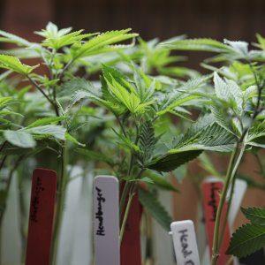 La marijuana light è legale in Italia: ecco dove trovarla