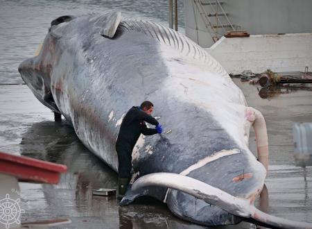 Islandesi uccidono una balena incinta e provano a nascondere il feto: immagini shock